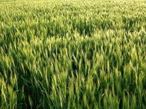 背景域麦子 免版税图库摄影