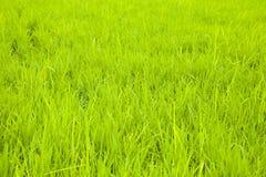 背景域绿色米 免版税库存图片