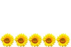 背景复制空间向日葵白色 免版税库存图片