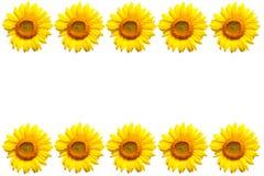 背景复制空间向日葵白色 图库摄影