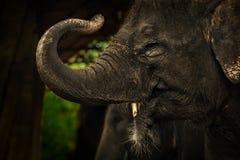 背景大象 免版税图库摄影