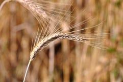 背景大麦 免版税库存图片