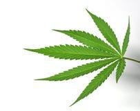 背景大麻叶子白色 库存图片
