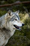 背景天狼犬座配置文件木材结构树狼 库存照片