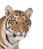 背景孟加拉前老虎白色 免版税库存图片