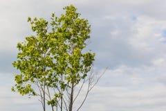 背景射线关闭砍伐结构树 库存照片