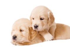 背景小狗猎犬二白色 免版税库存图片