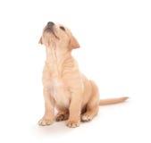 背景小狗白色 免版税图库摄影