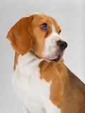 背景小猎犬查出的小狗白色 库存图片