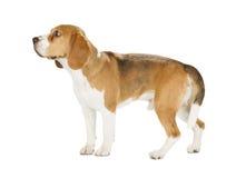 背景小猎犬查出的小狗白色 免版税图库摄影