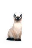 背景小猫暹罗白色 库存图片