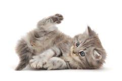 背景小猫白色 免版税库存照片