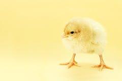 背景小鸡黄色 库存照片