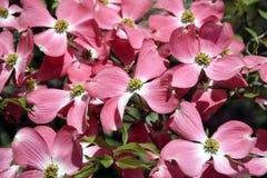 背景山茱萸粉红色 免版税图库摄影