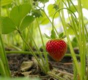 背景庭院查出的草莓白色 库存图片