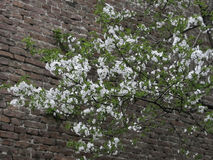背景开花叶子橙树 库存图片