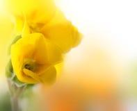 背景开花春天空白黄色 库存图片