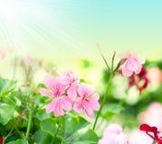 背景开花有用大竺葵的工厂 库存照片