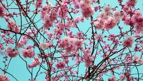 背景开花的春天结构树 图库摄影