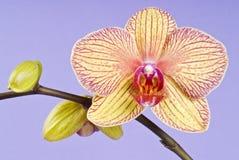 背景开花的淡紫色兰花黄色 图库摄影