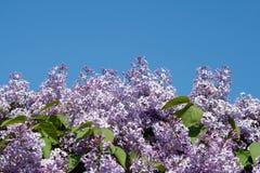 背景开花的蓝色丁香天空 库存照片