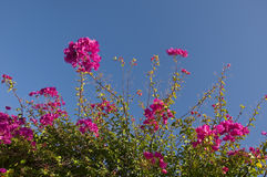 背景开花的蓝色九重葛天空 库存照片