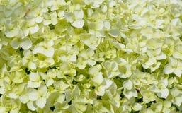 背景开花自然的八仙花属 免版税图库摄影