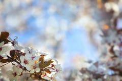 背景开花软樱桃的重点 免版税库存图片