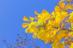 背景弄脏了栗子的风景黄色分支 库存图片