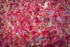 背景我充分mage红色叶子 免版税库存照片