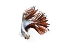 背景战斗鱼暹罗白色 免版税图库摄影