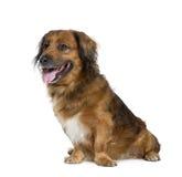 背景拙劣的狗前开会白色 免版税库存照片
