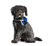 背景拙劣的狗前开会白色 免版税库存图片