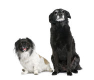背景拙劣的狗朝向二白色 免版税库存图片