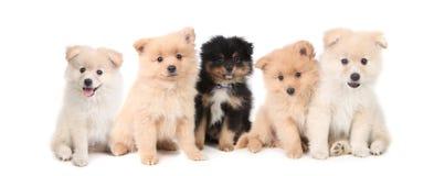 背景排行了白色的pomeranian小狗 免版税图库摄影