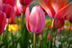 背景接近的五颜六色的桃红色郁金香 免版税库存图片
