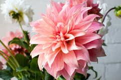 背景接近的大丽花粉红色 库存照片