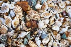 背景接近的收集贝壳贝壳 库存图片