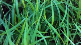 背景新草绿色 绿草关闭与露滴 湿草的雨 特写镜头叶子 夹子 股票视频