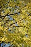 背景日本秋天银杏树叶子 免版税图库摄影