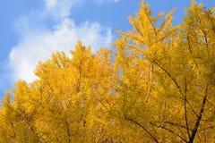背景日本秋天银杏树叶子 免版税库存图片