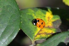 背景昆虫瓢虫留给自然 库存图片
