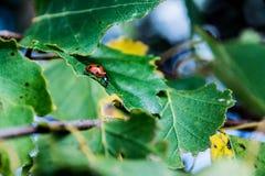 背景昆虫瓢虫留给自然 免版税图库摄影