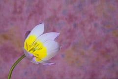 背景明亮的紫红色桃红色郁金香黄色 免版税库存图片