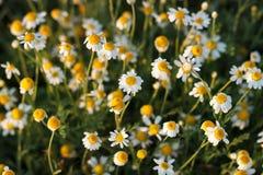 背景春黄菊开花例证向量 花纹理 集中于中央雏菊 免版税库存照片