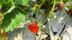 背景束集中前面查出一空白的草莓 库存照片
