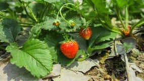 背景束集中前面查出一空白的草莓 免版税图库摄影