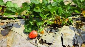背景束集中前面查出一空白的草莓 免版税库存照片