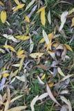 背景杨柳秋天叶子的纹理  图库摄影