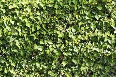 背景构成常春藤属螺旋常春藤垂直 库存照片